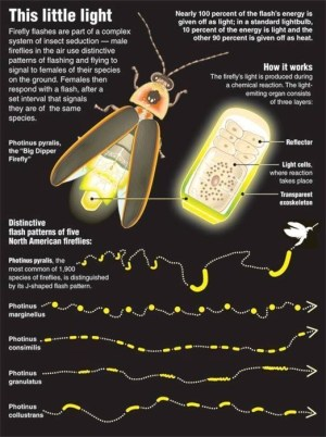 How do fireflies emit light?  Quora