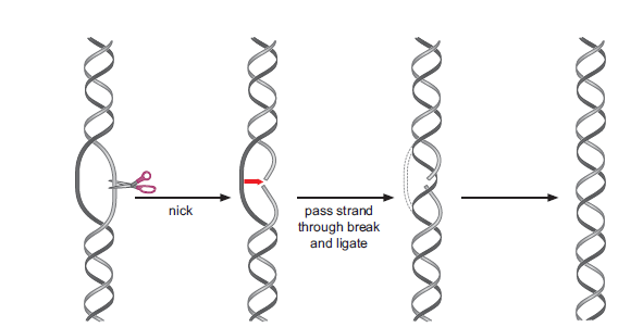Why is topoisomerase activity necessary for transcriptions