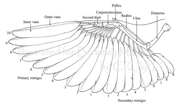 What are the wings of bats made of? How are bats wings