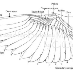 Duck Wing Diagram Msd 6al Wiring Chevy Hei What Are The Wings Of Bats Made Of? How Different Than A Bird? - Quora