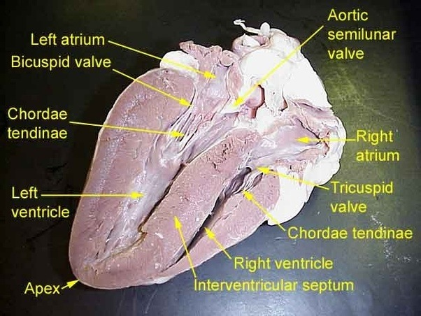 4 h pig diagram 2002 ford f250 radio wiring what are the differences between ventricle and atrium of a heart? - quora