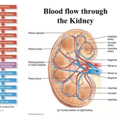 Kidney Nephron Structure Diagram Ceiling Fan Wiring With Red Wire What Is The Path Of Blood Flow Through Renal Vessels, Supply And Venous Drainage ...