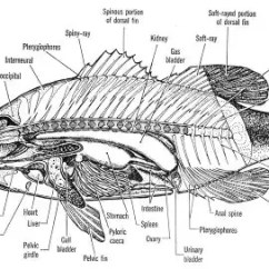 Labeled Diagram Of Octopus 1990 Honda Crx Stereo Wiring Why Is An Considered A Mollusk Instead Fish Quora 1 Internal Morphology Source Pinterest Original Not Found