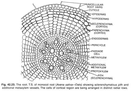 dicot root diagram wiring of ceiling fan with light what is the difference between monocot and roots quora both have radial exarch xylem