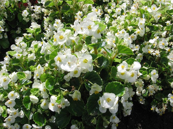 encore iv white begonia