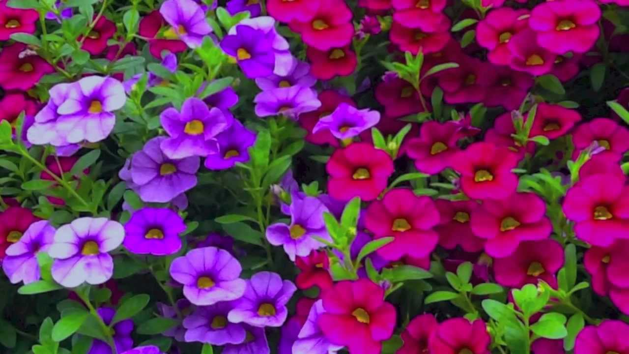 How To Grow Flowers: Easy To Grow Annuals With Low