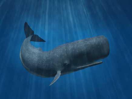 sperm-whale-physeter-macrocephalus_13312