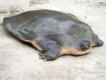 Cantor's giant softshell turtle (Pelochelys cantorii)