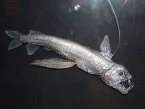 Viperfish