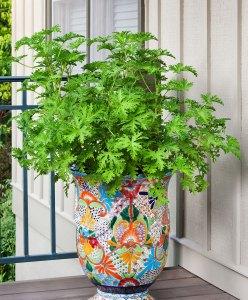 mosquito-plant-citronella