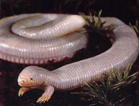 Mexican-mole-lizard-5