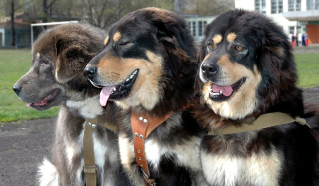 tibetan mastiffs 1 800