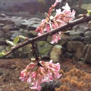 February: Viburnum bodnantense 'Dawn'