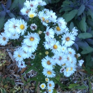 September: Aster from Quadra Garden Club plant sale
