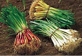 Growing Storage Onions Part 2: Seeds, Sets, or Starts: How Do You Decide?