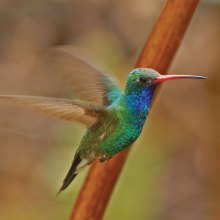 Male Broad-billed Hummingbird in flight