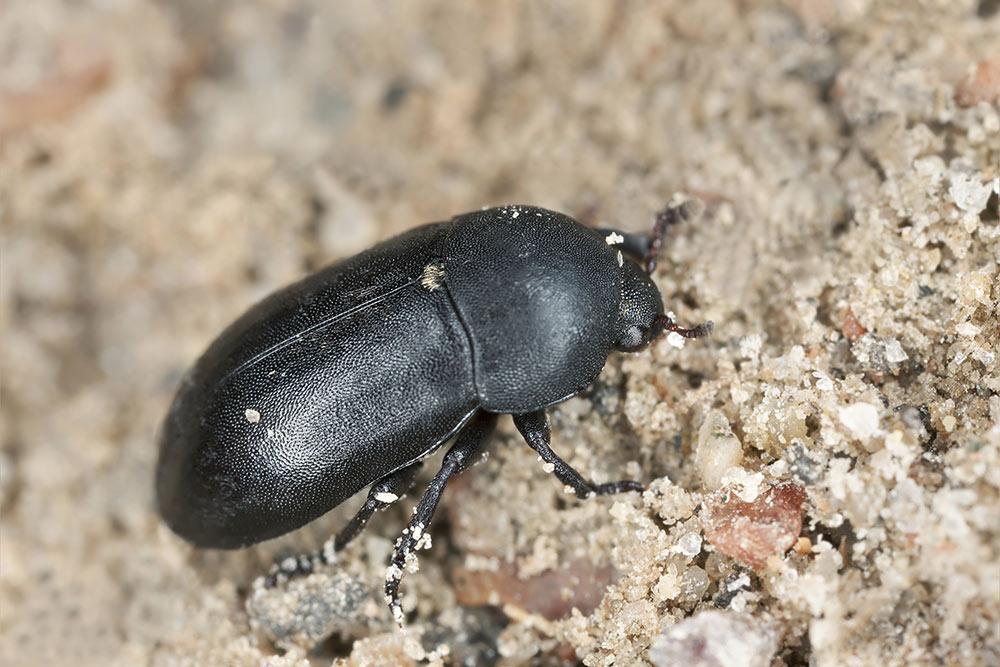 Dermestid Taxidermy Beetles
