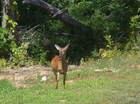 Deer 027 (2)