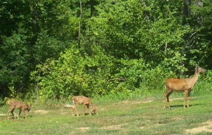 Deer 030 (2)