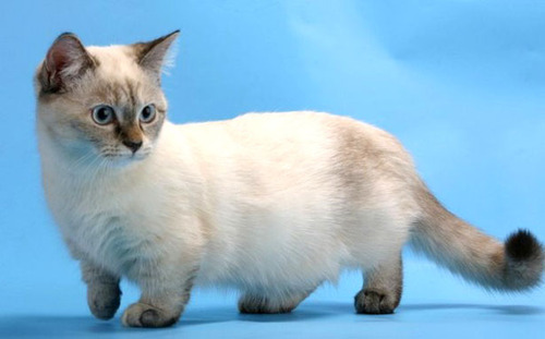 Resultado de imagem para Gatos Munchkin