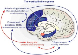 The anterior cingulate cortex has a central role in processing emotional experiences at the conscious level and selective attentional responses. Emotionally related learning is mediated through the interactions of the basolateral amygdala and hippocampal formation and motivational responses are processed through the dorsolateral prefrontal cortex (from Benes, 2010).