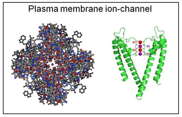 Fig. 26 : Crystallographic X-ray determined structure of a potassium channel (a) and a schematic representation of it showing the polypeptide units (b)