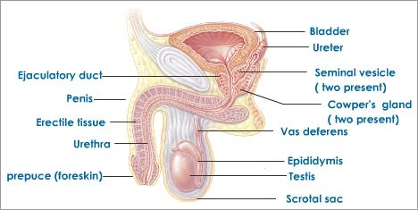 side-view-human-male-reproductive-system