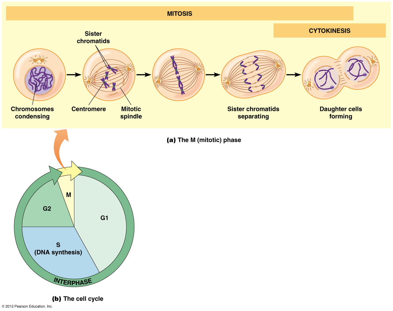 hight resolution of lifecycle fig1 fig2