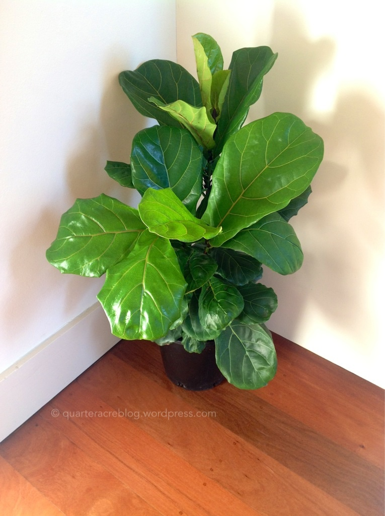 kitchen window box graff faucets ficus lyrata | the quarter acre blog