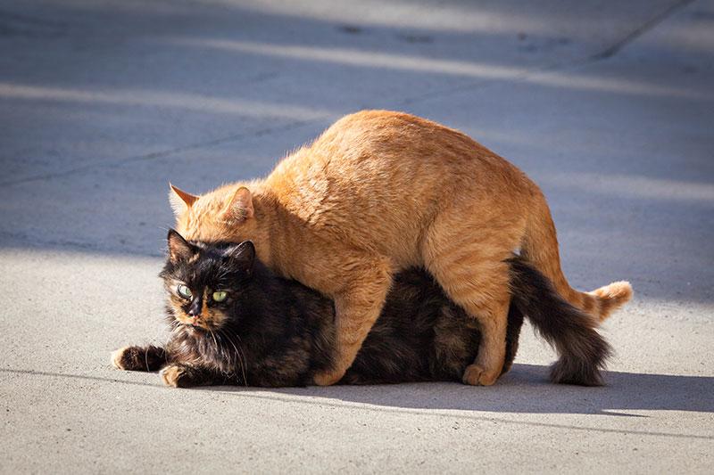 accouplement de deux chats