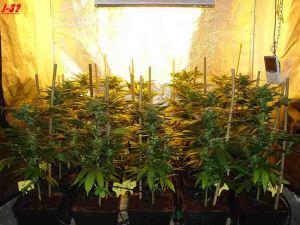 Culture Biotops Marihuana biotops