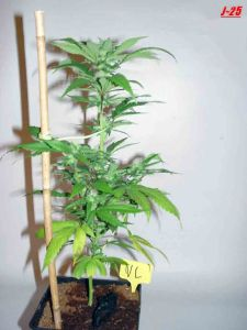 White Widow Queen Seeds biotop