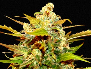 graine de cannabis - bazooka