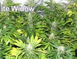 graine de cannabis - white widow