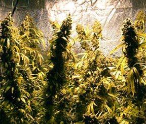 Culture intérieure du cannabis
