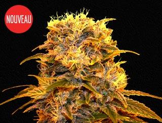 Graines de cannabis - Queen Cheeze - Queen Seeds