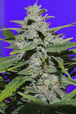Strike Auto de Queen Seeds