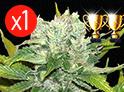 NL x Apolo G13 Graine de cannabis à l'unité Queen Seeds