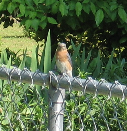 Mama Bluebird watching me check her nest