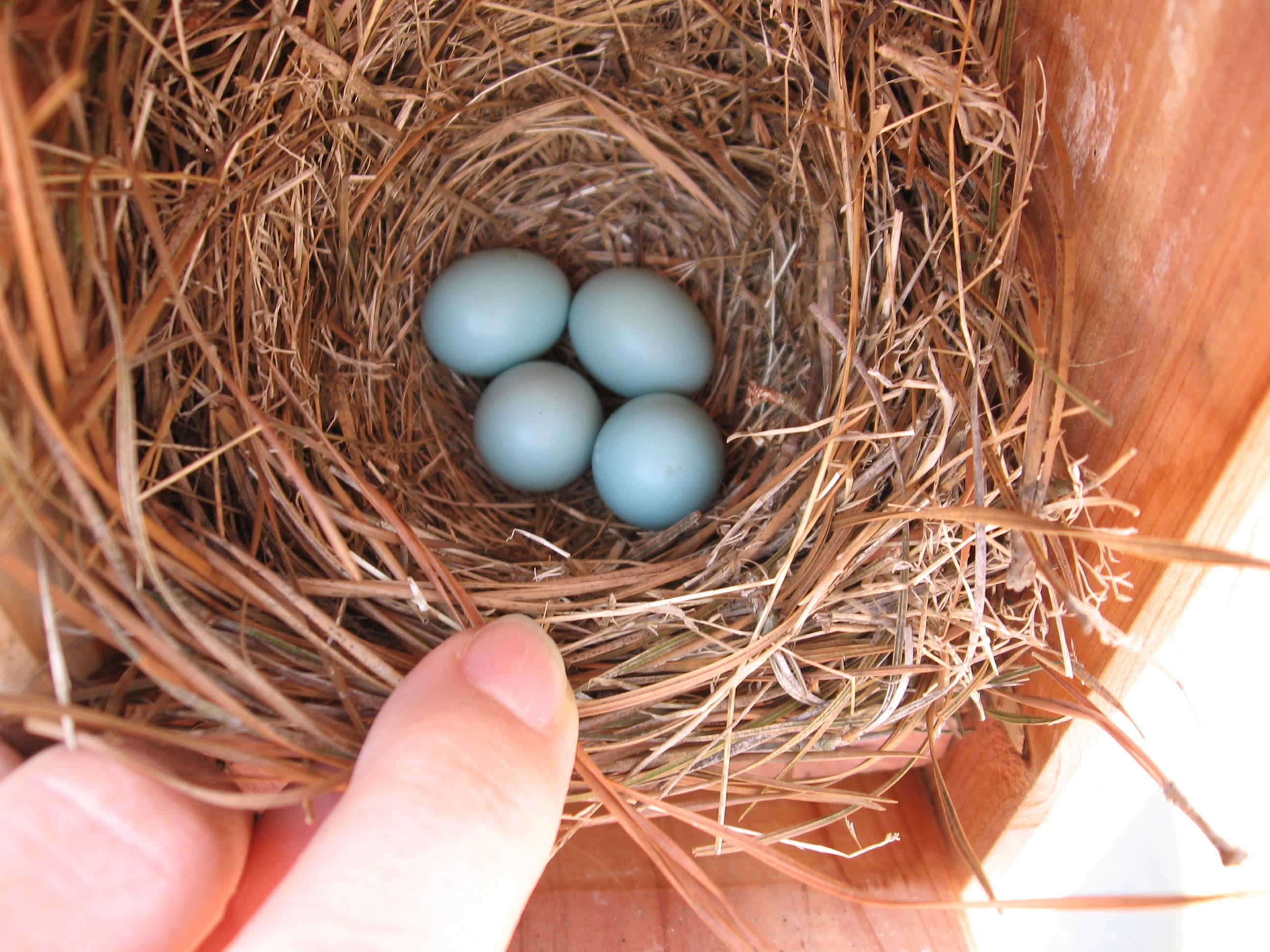 4 bluebird eggs