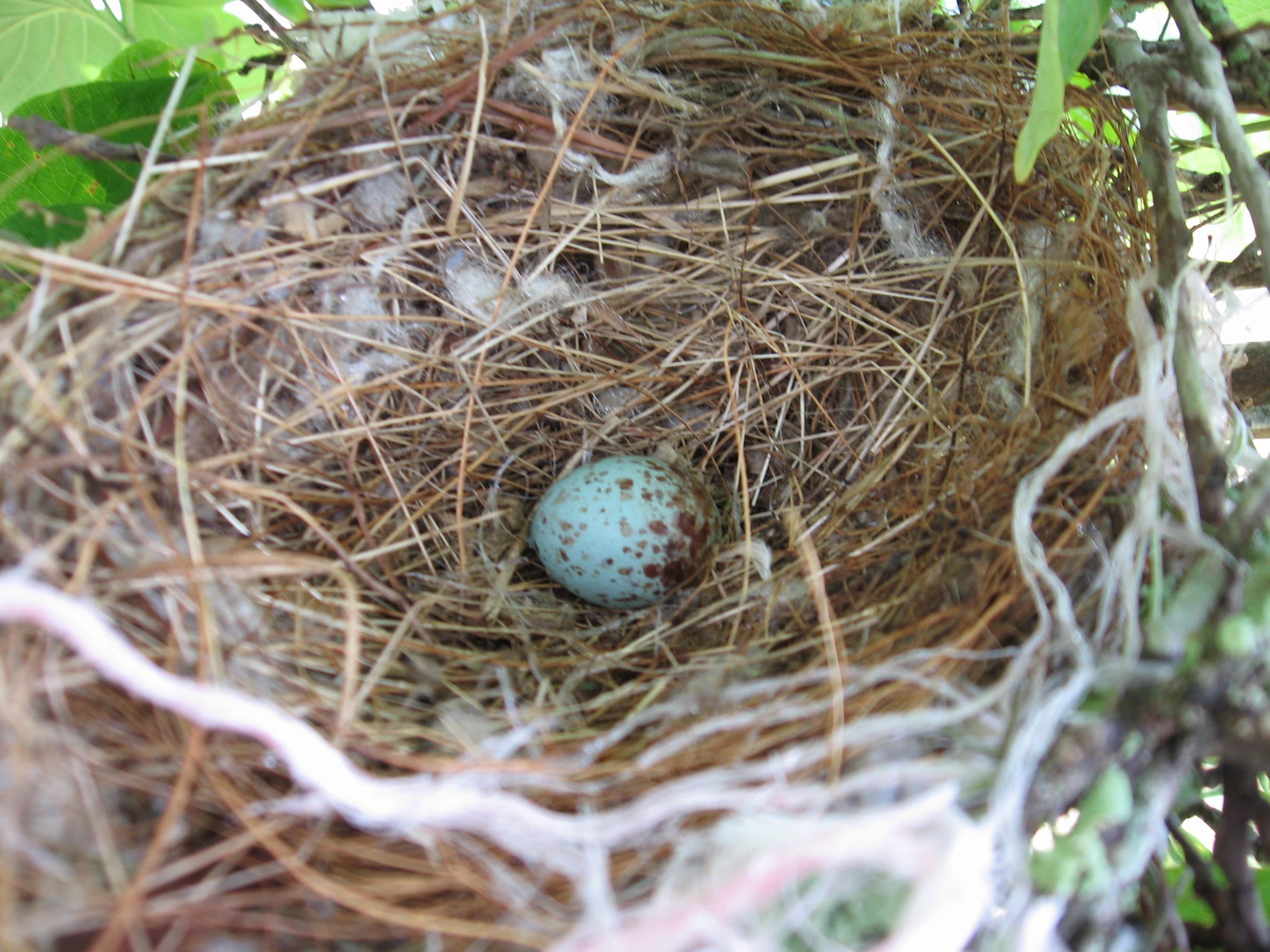 Mockingbird egg