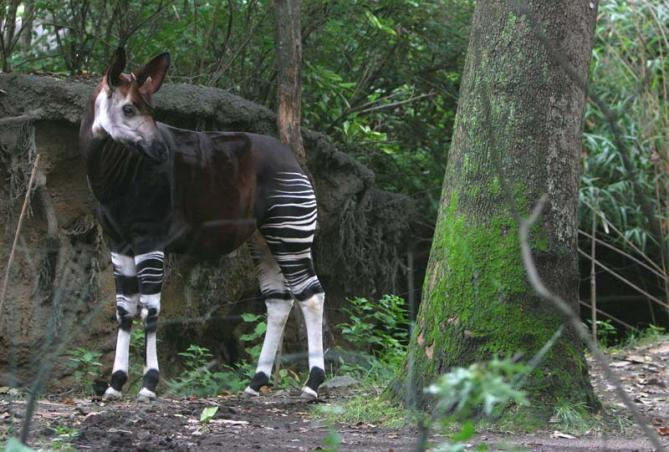 okapi-congo-wildlife-safaris