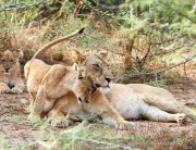 Basic Intriguing Facts About Lions-Uganda safari news