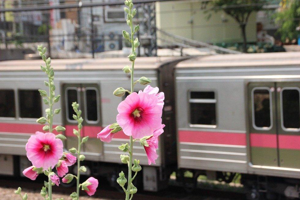 dr althea flower south korea