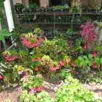 Betty Vander Poorten's Begonia Collection