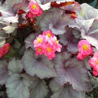 Experimental Cross of Rex and Tuberous Begonias