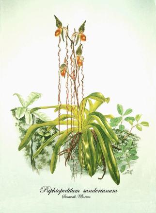 Paphiopedilum sanderianum (painted)