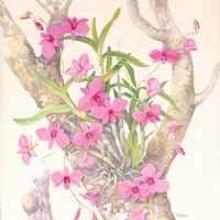 Cooktown Orchid (Dendrobium bigibbum, Dendrobium phalaenopsis, Vappodes phalaenopsis): Floral Emblem of Queensland, Australia