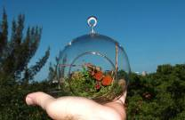 Lepanthes telipogoniflora grown in the glass orb (2)
