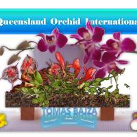 Tomas Bajza and His Exotic Miniature Orchids ❀🔅✾